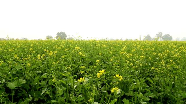 mustard field - mustard stock videos and b-roll footage