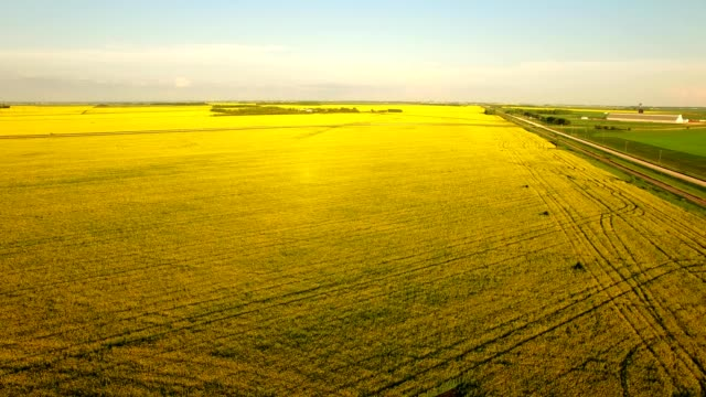 mustard fields on canadian prairie - manitoba stock videos & royalty-free footage