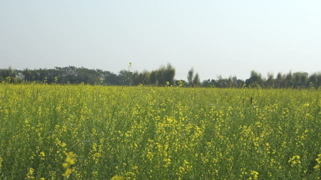 mustard flower and yellow on field. - mustard stock videos and b-roll footage