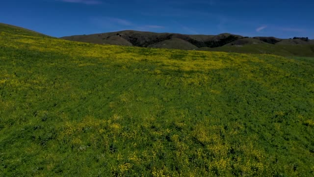Mustard plant grows on a hillside near the Nicasio Reservoir on March 14 2019 in Nicasio California
