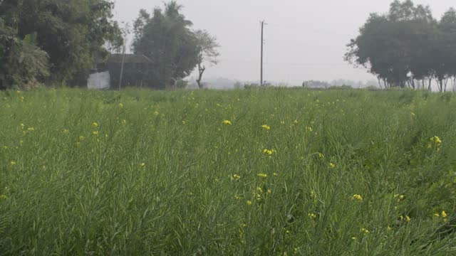 mustard seed plant in the singair area of manikganj near dhaka, india on january 18, 2021. - flower head stock videos & royalty-free footage