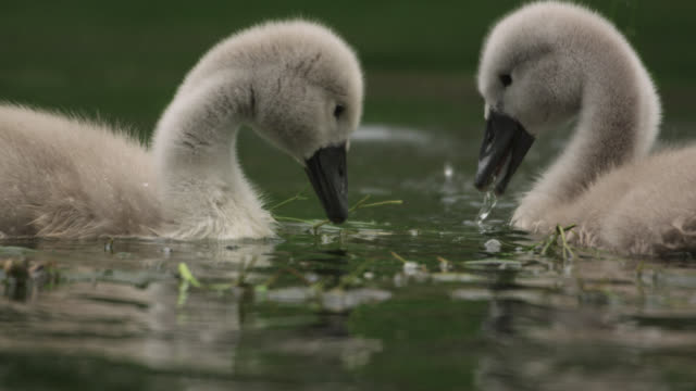 Mute swan (Cygnus olor) and cygnets dabble on river, Wiltshire, England
