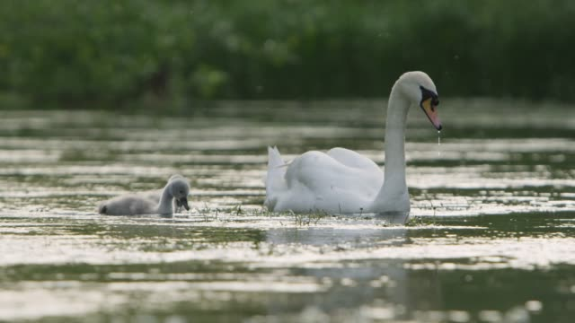 mute swan (cygnus olor) and cygnets dabble on river, wiltshire, england - cigno video stock e b–roll