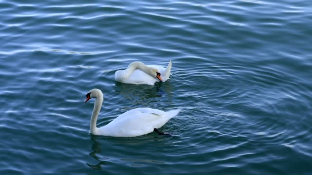 Mute swan couple at the mating in spring, Lake constance, Baden-Württemberg, Germany