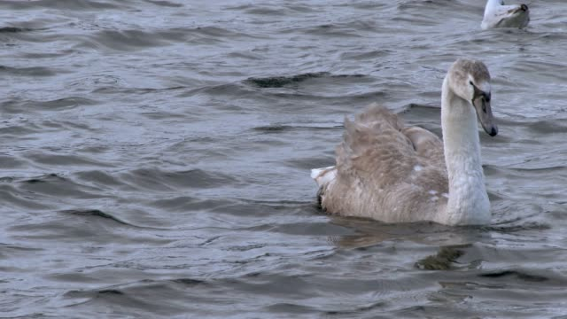 mute swan cygnet swimming on a scottish loch in south west scotland - mute swan stock videos & royalty-free footage