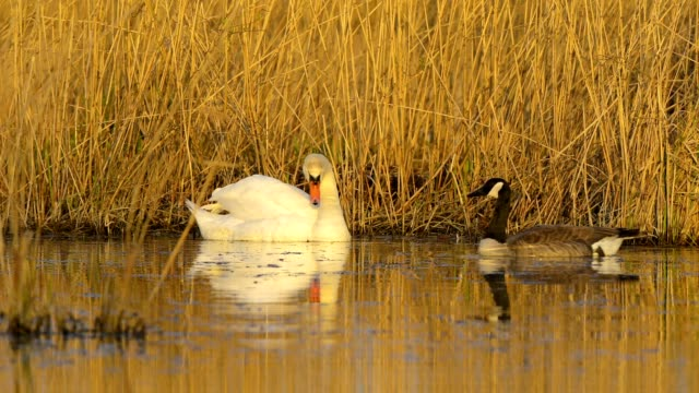mute swan, cygnus olor, and canada goose, branta canadensis, on lake - mute swan stock videos & royalty-free footage