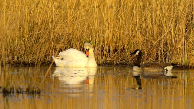 vídeos y material grabado en eventos de stock de mute swan, cygnus olor, and canada goose, branta canadensis, on lake - cisne blanco común