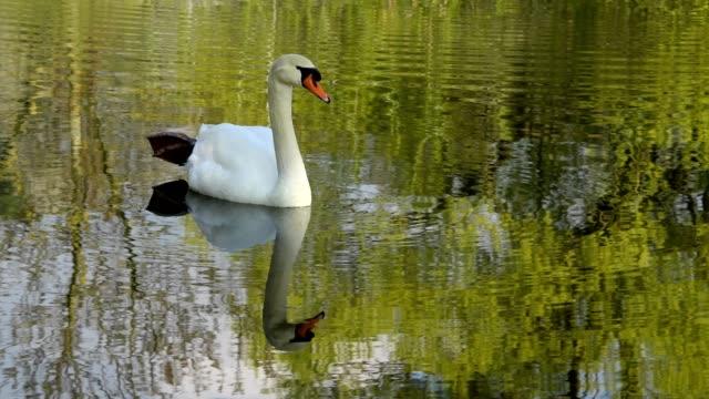 mute swan, cygnus olor, bavaria, germany - mute swan stock videos & royalty-free footage