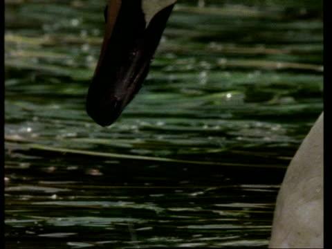 cu mute swan, cygnus olor, feeding on plant in river, united kingdom - mute swan stock videos & royalty-free footage