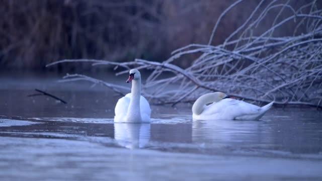 Mute swan, Cygnus olor, in winter