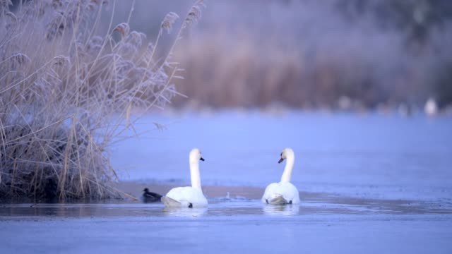 mute swan, cygnus olor, in winter - mute swan stock videos & royalty-free footage