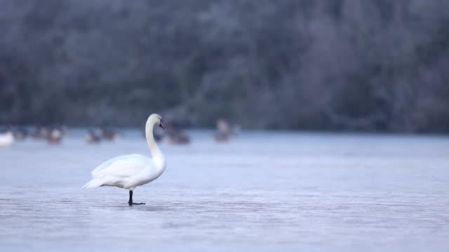 Mute swan, Cygnus olor, on ice in winter