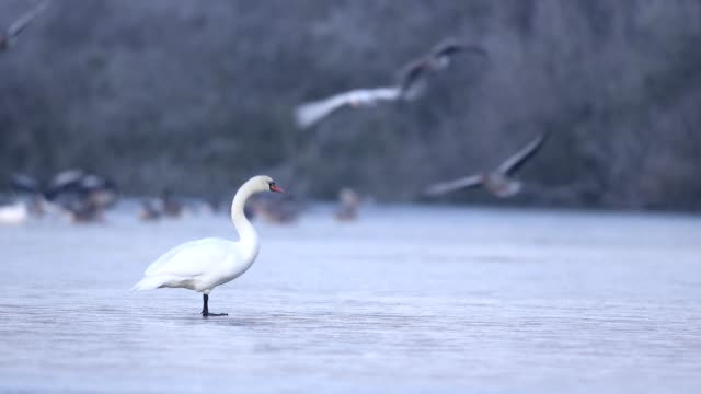 mute swan, cygnus olor, on ice in winter - mute swan stock videos & royalty-free footage