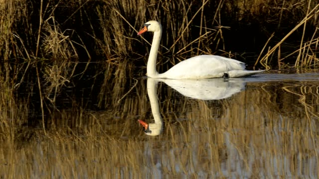 mute swan, cygnus olor, on lake in spring - mute swan stock videos & royalty-free footage