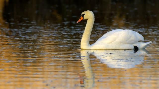 mute swan, cygnus olor, on lake - mute swan stock videos & royalty-free footage