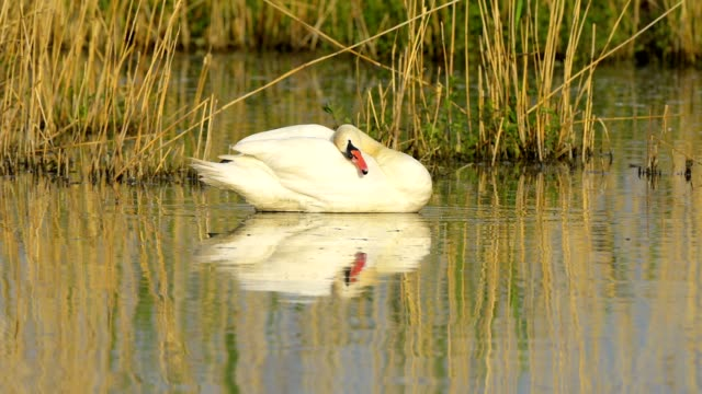 mute swan, cygnus olor, on lake - mute swan stock videos & royalty-free footage