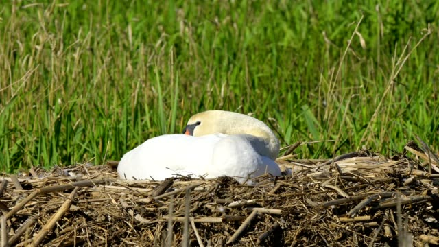 mute swan, cygnus olor, on nest - mute swan stock videos & royalty-free footage