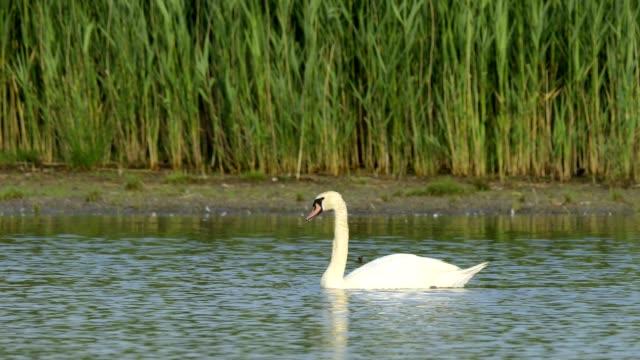 stockvideo's en b-roll-footage met mute swan, cygnus olor - knobbelzwaan