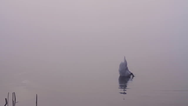 a mute swan diving for food on a foggy lake - mute swan stock videos & royalty-free footage