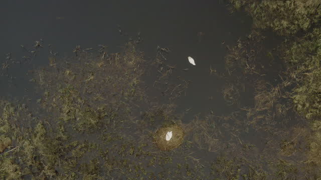 mute swan (cygnus olor) family in breeding period, raining, belarus - named wilderness area stock videos & royalty-free footage