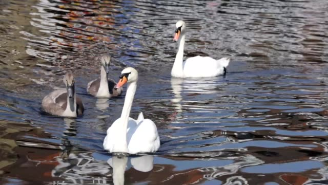 mute swan family two cygnets on mitcham pond surrey - cygnet stock videos & royalty-free footage