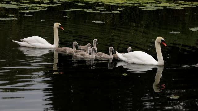 mute swan family with seven cygnets hd video - mute swan stock videos & royalty-free footage