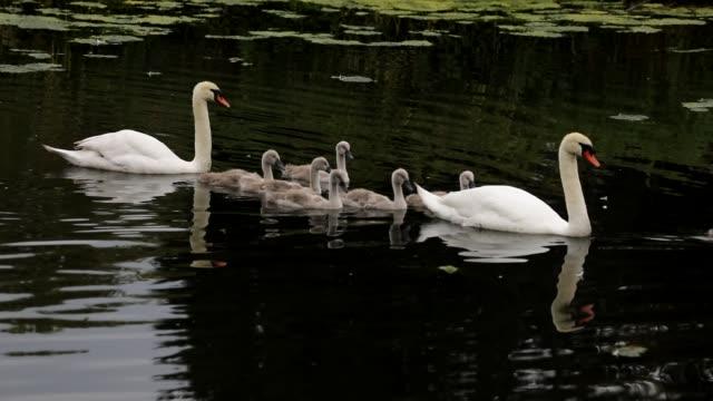 vídeos y material grabado en eventos de stock de silenciar familia de cisnes con siete cygnets hd video - cisne blanco común