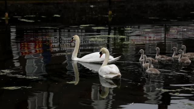 mute swan family with seven cygnets - mute swan stock videos & royalty-free footage