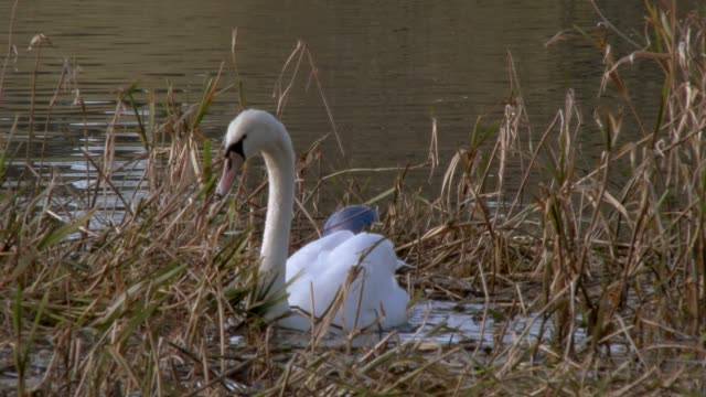 Mute swan feeding on a Scottish loch in south west Scotland