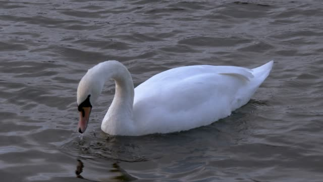 mute swan feeding on a scottish loch in south west scotland - johnfscott video stock e b–roll