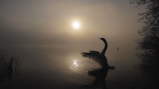 a mute swan flaps its wings on a foggy lake - mute swan stock videos & royalty-free footage