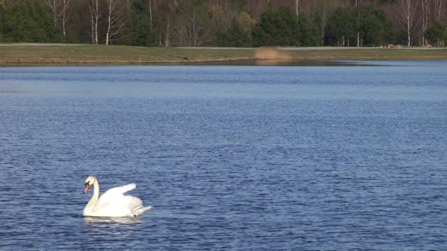 mute swan floating - mute swan stock videos & royalty-free footage