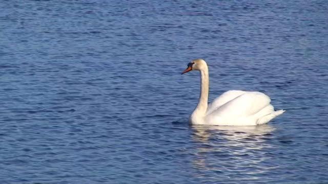 mute swan floating video - mute swan stock videos & royalty-free footage