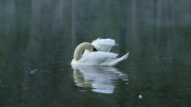 Mute swan in pond