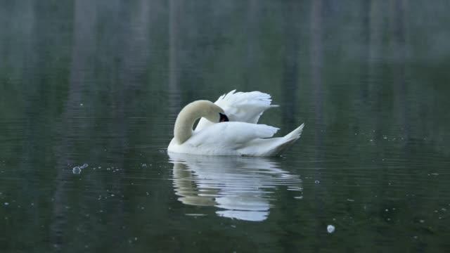 stockvideo's en b-roll-footage met mute swan in pond - knobbelzwaan