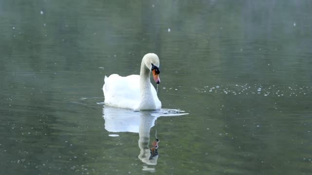 mute swan in pond - mute swan stock videos & royalty-free footage