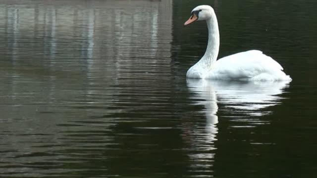 Höckerschwan im Teich