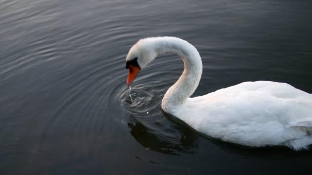 mute swan in water - swan stock videos & royalty-free footage