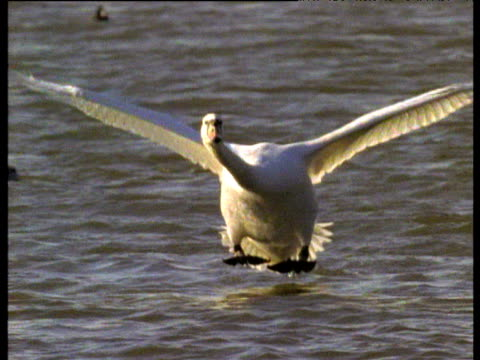 Mute swan lands on water and aquaplanes towards camera, UK