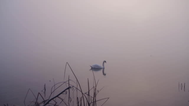 Mute Swan on a Foggy Lake During Winter