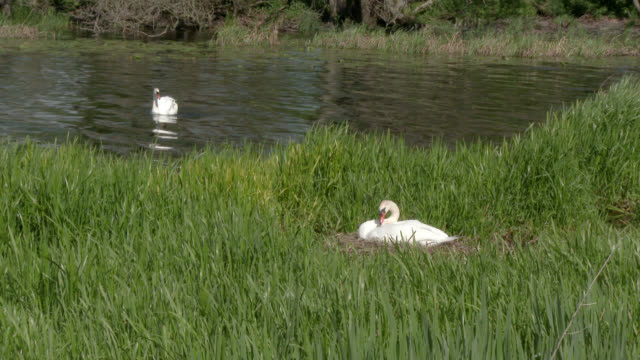 mute swan on a nest in a rural setting - mute swan stock videos & royalty-free footage