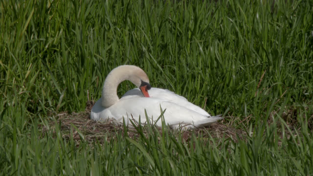 Mute swan on a nest in a rural setting