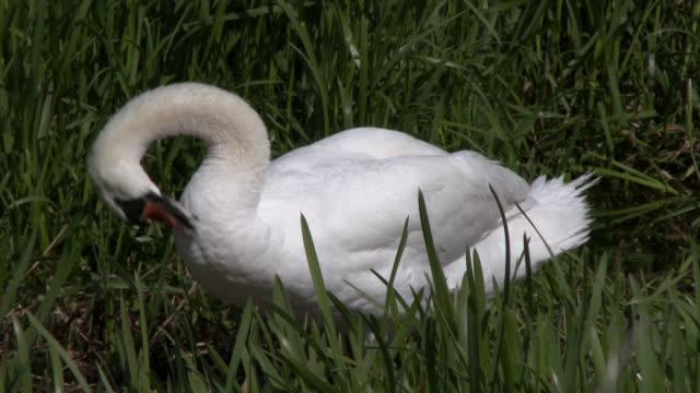 vídeos y material grabado en eventos de stock de mudo cisne en un nido en un entorno rural - comportamiento de animal