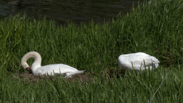 vidéos et rushes de cygne muet sur un nid dans un cadre rural - création animale