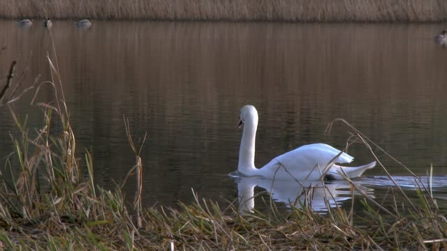 Mute swan on a Scottish loch in south west Scotland