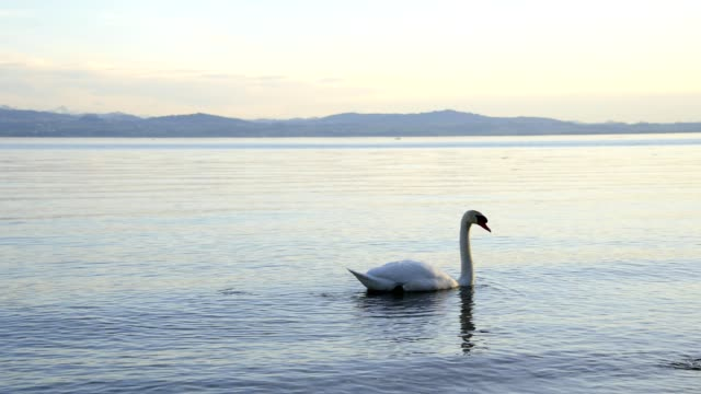 Mute swan on lake constance