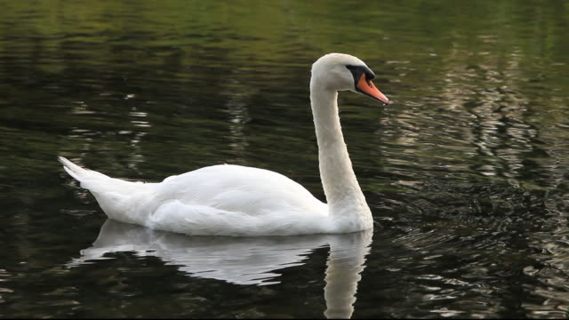 a mute swan (cygnus olor) preening, ambleside, uk. - mute swan stock videos & royalty-free footage