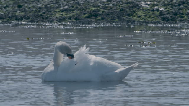 mute swan (cygnus olor) preening its feathers - mute swan stock videos & royalty-free footage