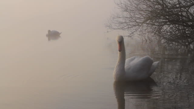 a mute swan preening on a foggy lake - cigno video stock e b–roll