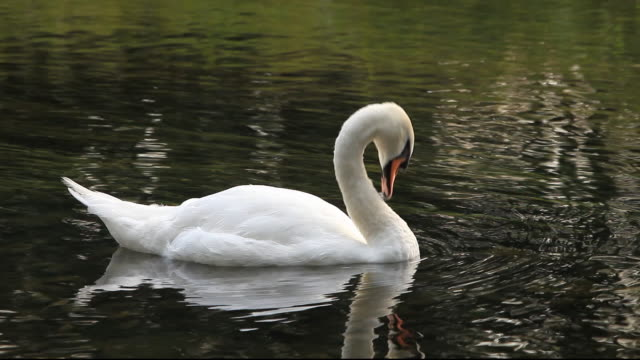 a mute swan preening. - mute swan stock videos & royalty-free footage